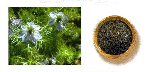 Fara e zezë (Nigella Sativa), ilaçi i çdo sëmundjeje Black_seed